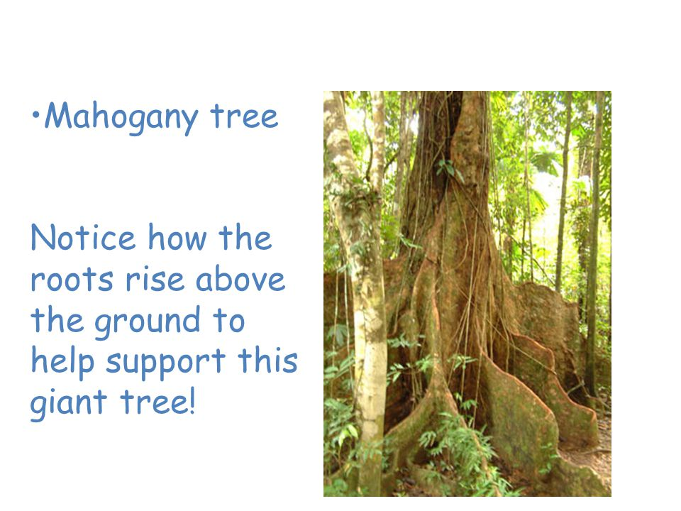 Plants of the Tropical Rain Forest Mahogany tree Notice how the roots rise above the ground to help support this giant tree!