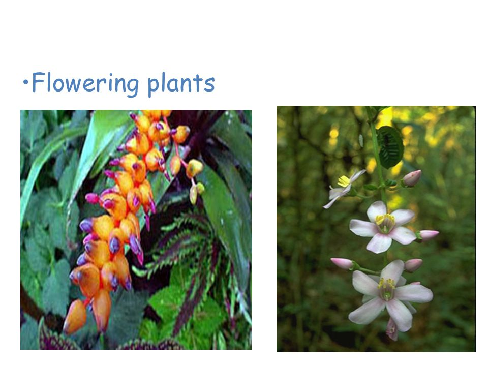 Plants of the Tropical Rain Forest Flowering plants