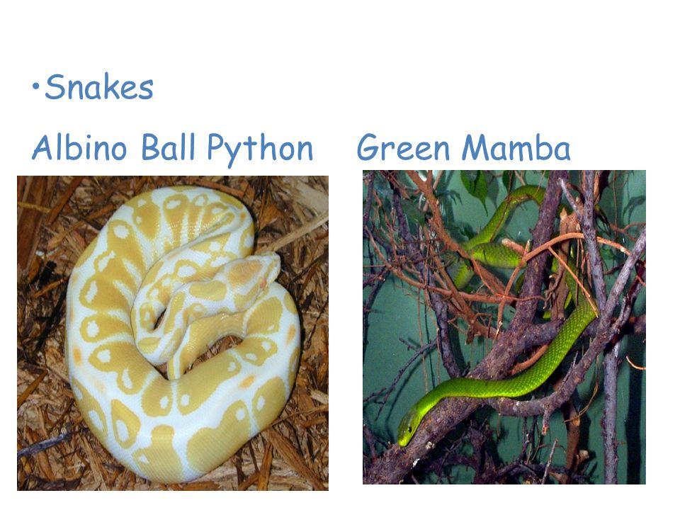 Animals of the Tropical Rain Forest Snakes Albino Ball Python Green Mamba