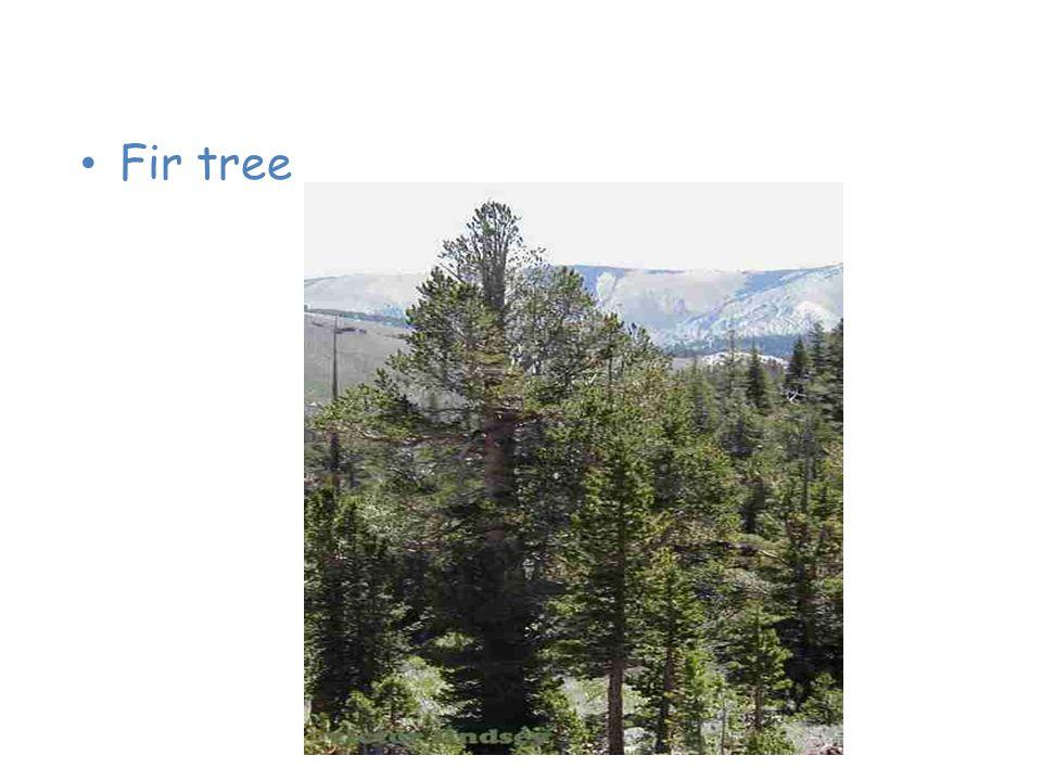 Plants of the Taiga Fir tree
