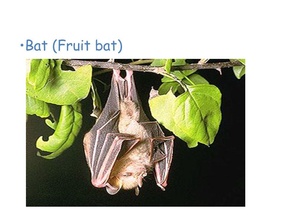 Animals of the Tropical Rain Forest Bat (Fruit bat)