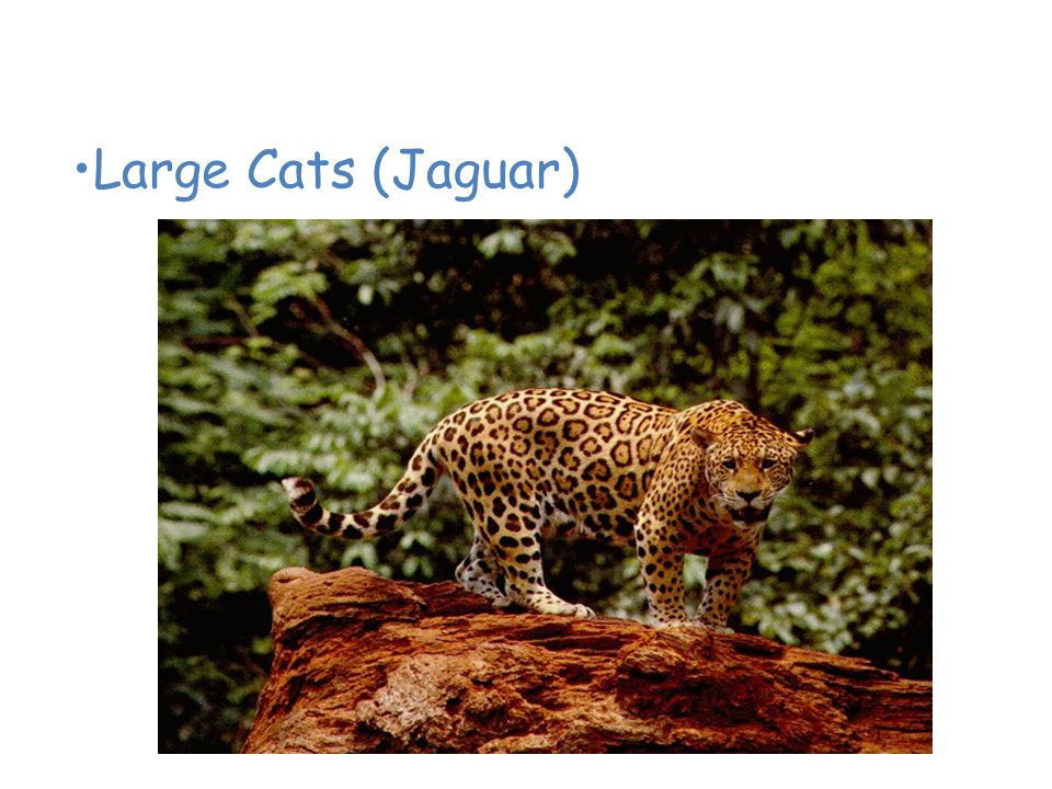 Animals of the Tropical Rain Forest Large Cats (Jaguar)