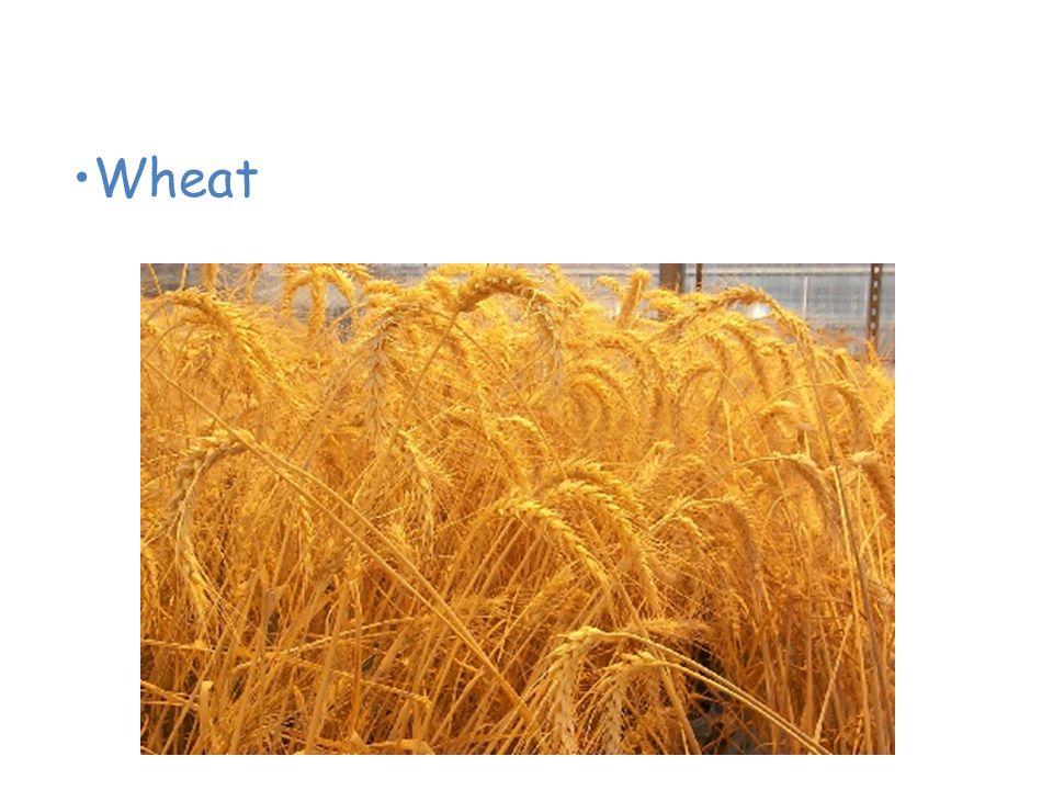 Plants of the Grassland Wheat