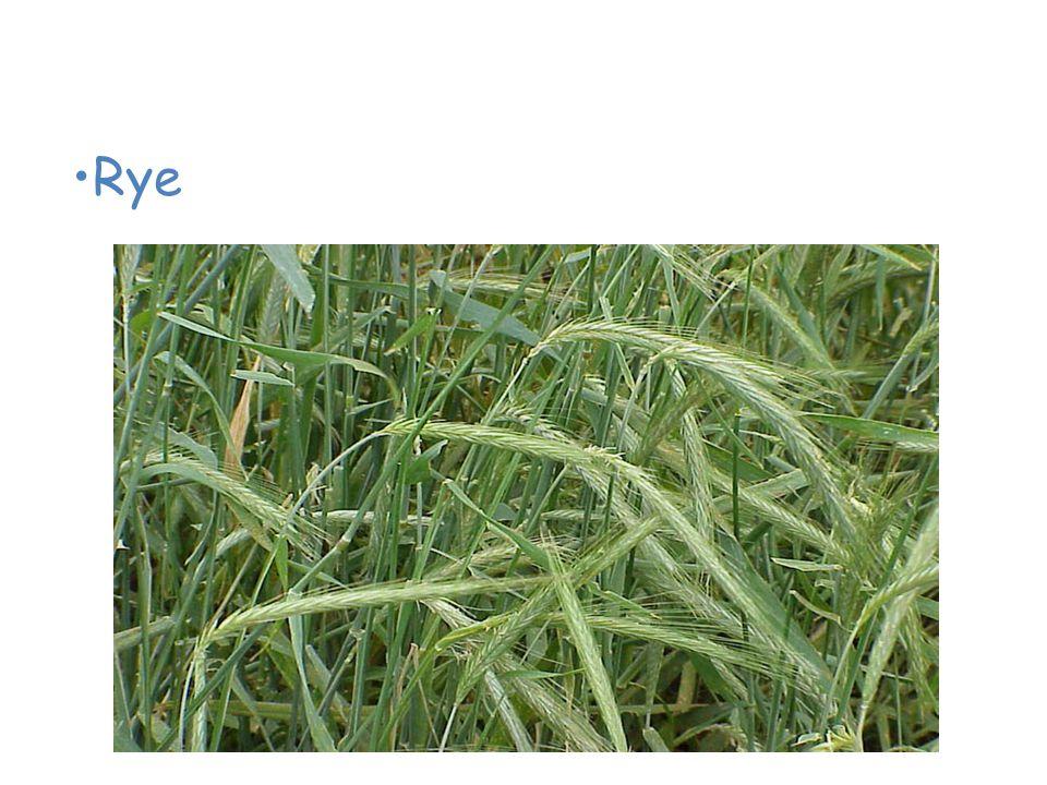 Plants of the Grassland Rye