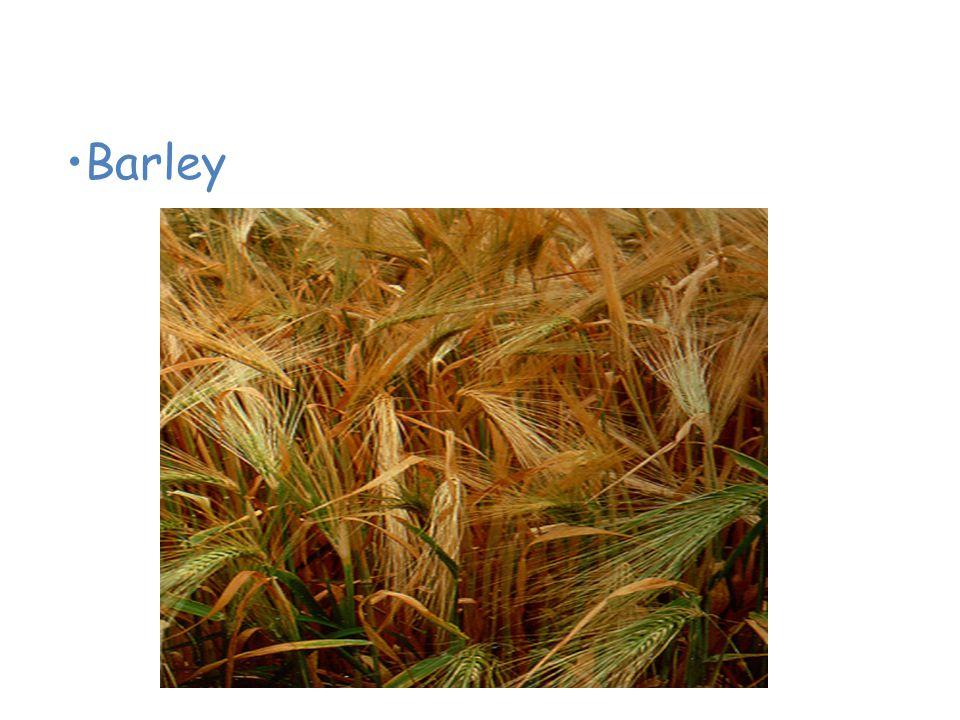 Plants of the Grassland Barley