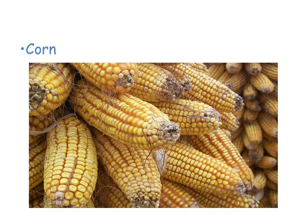 Plants of the Grassland Corn