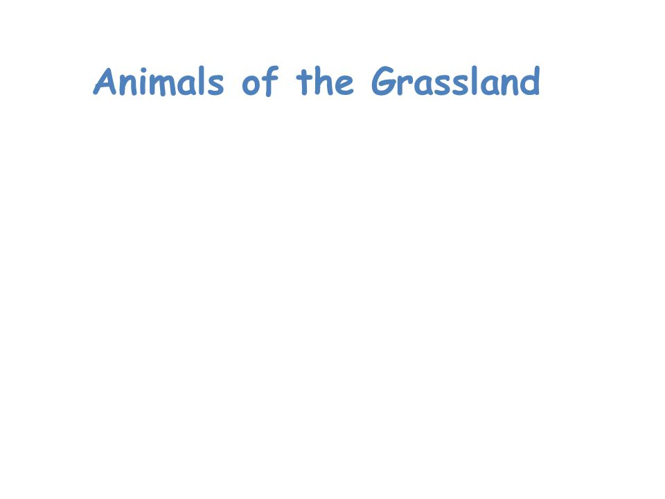 Animals of the Grassland The most noticeable animals in grassland ecosystems are usually grazing mammals.
