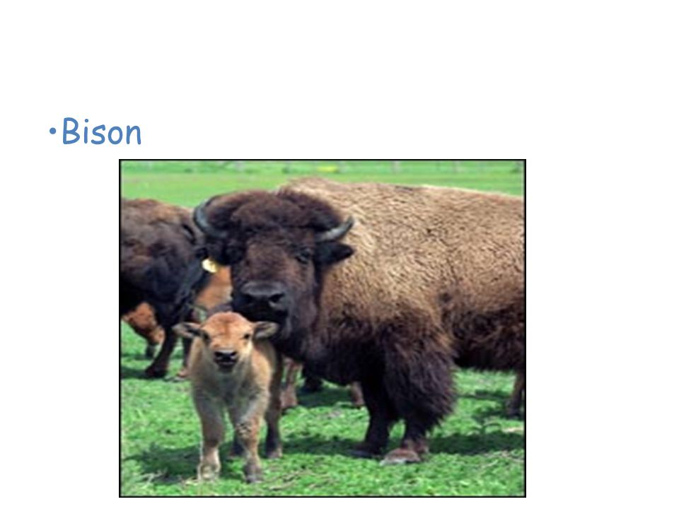 Animals of the American Grassland Bison