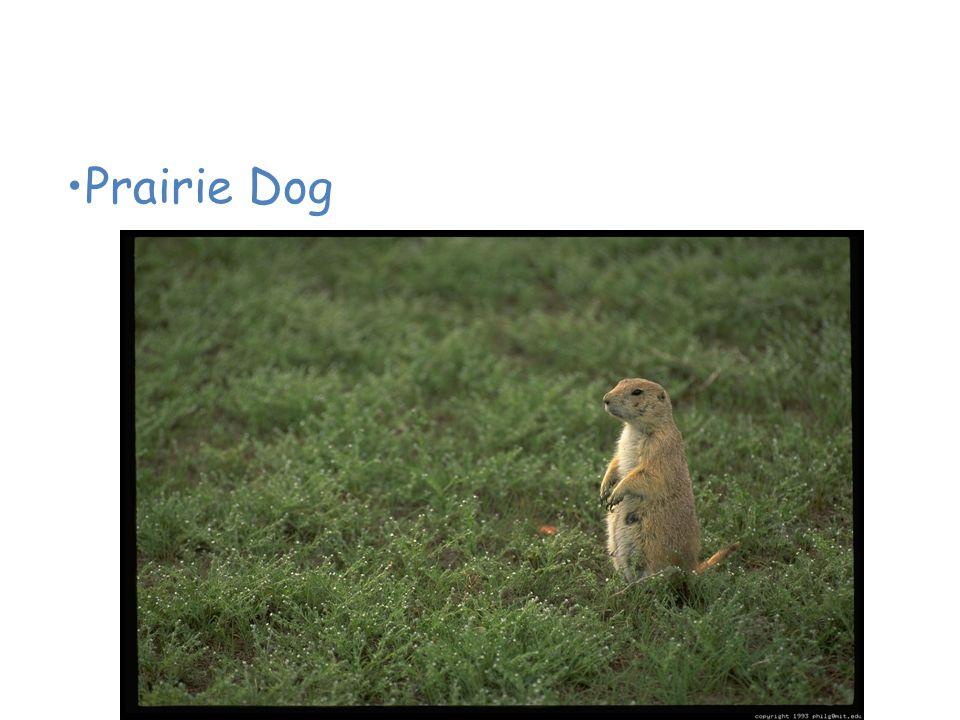 Animals of the American Grassland Prairie Dog