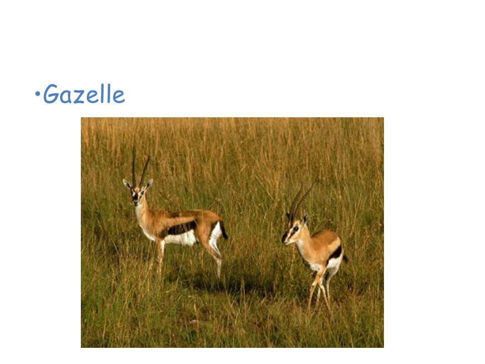 Animals of the African Savanna Gazelle