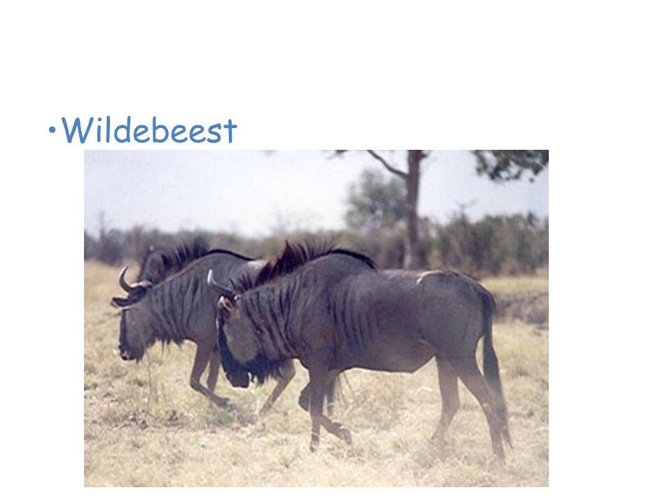 Animals of the African Savanna Wildebeest