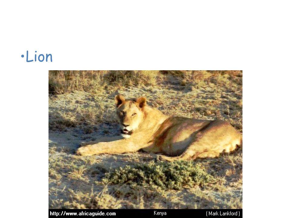 Animals of the African Savanna Lion
