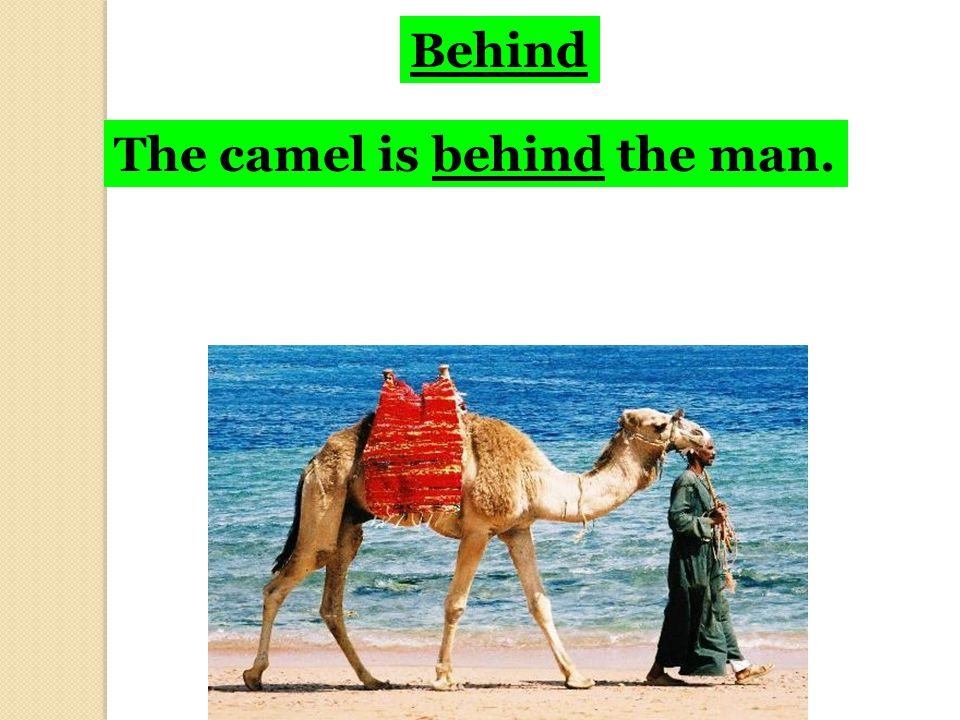 Behind The camel is behind the man.
