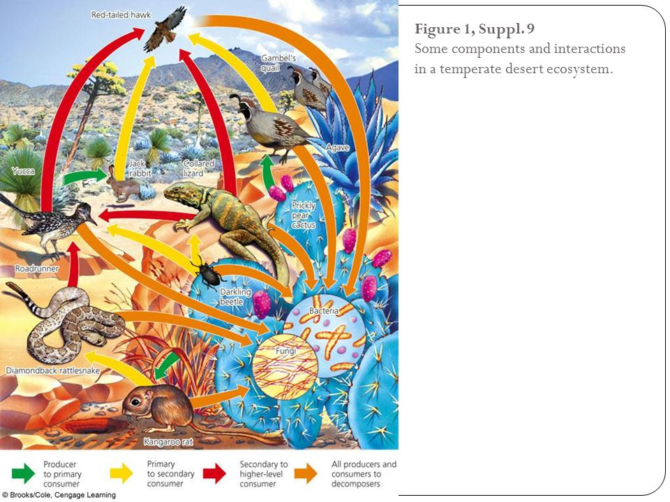 Figure 1, Suppl. 9 Some components and interactions in a temperate desert ecosystem.
