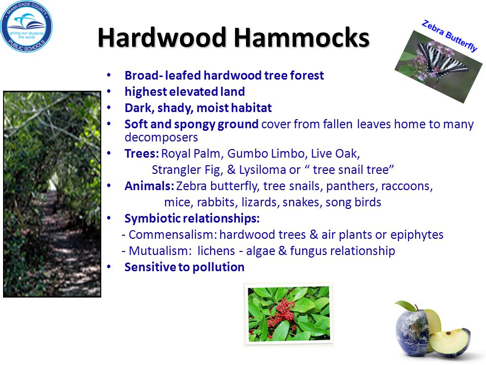 Hardwood Hammocks Broad- leafed hardwood tree forest highest elevated land Dark, shady, moist habitat Soft and spongy ground cover from fallen leaves
