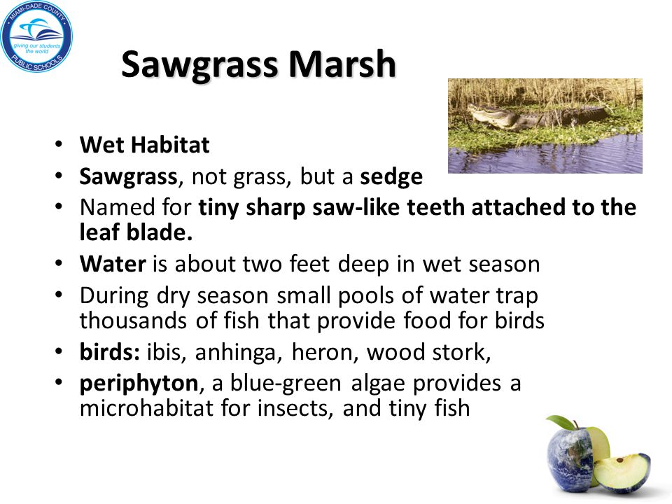 awgrass Marsh Sawgrass Marsh Wet Habitat Sawgrass, not grass, but a sedge Named for tiny sharp saw-like teeth attached to the leaf blade. Water is abo