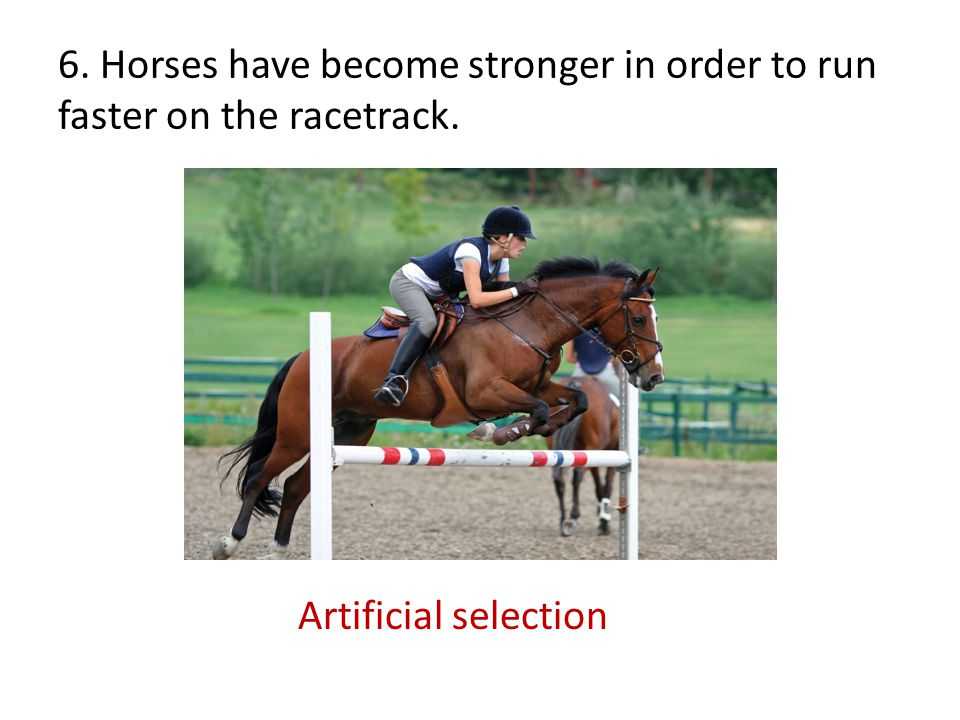 6. Horses have become stronger in order to run faster on the racetrack. Artificial selection