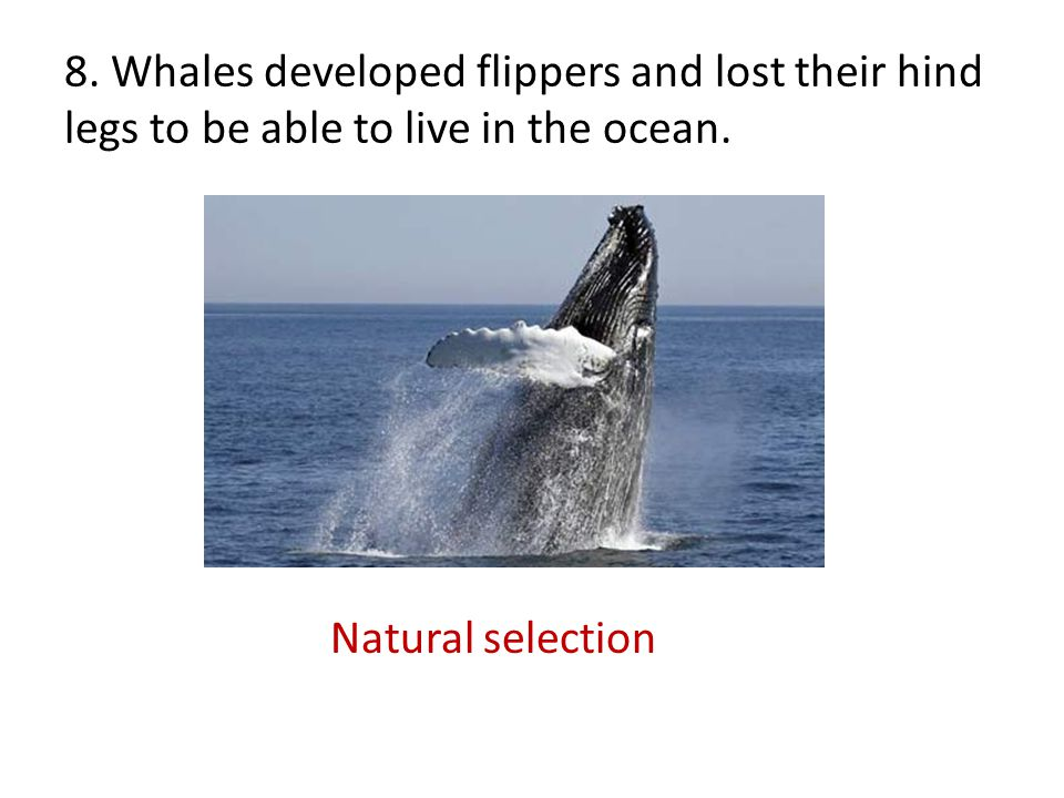 8. Whales developed flippers and lost their hind legs to be able to live in the ocean.