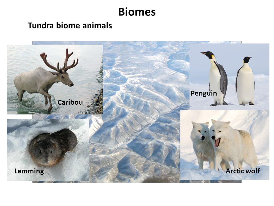 Biomes Tundra biome animals Arctic wolf Penguin Caribou Lemming