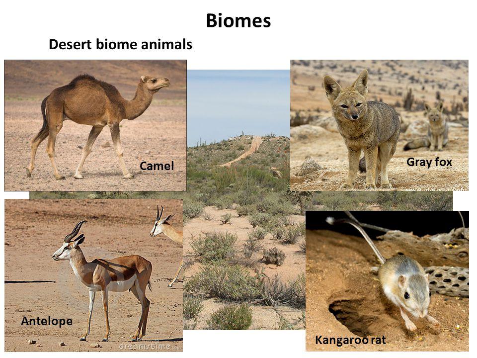 Biomes Desert biome animals Camel Antelope Gray fox Kangaroo rat