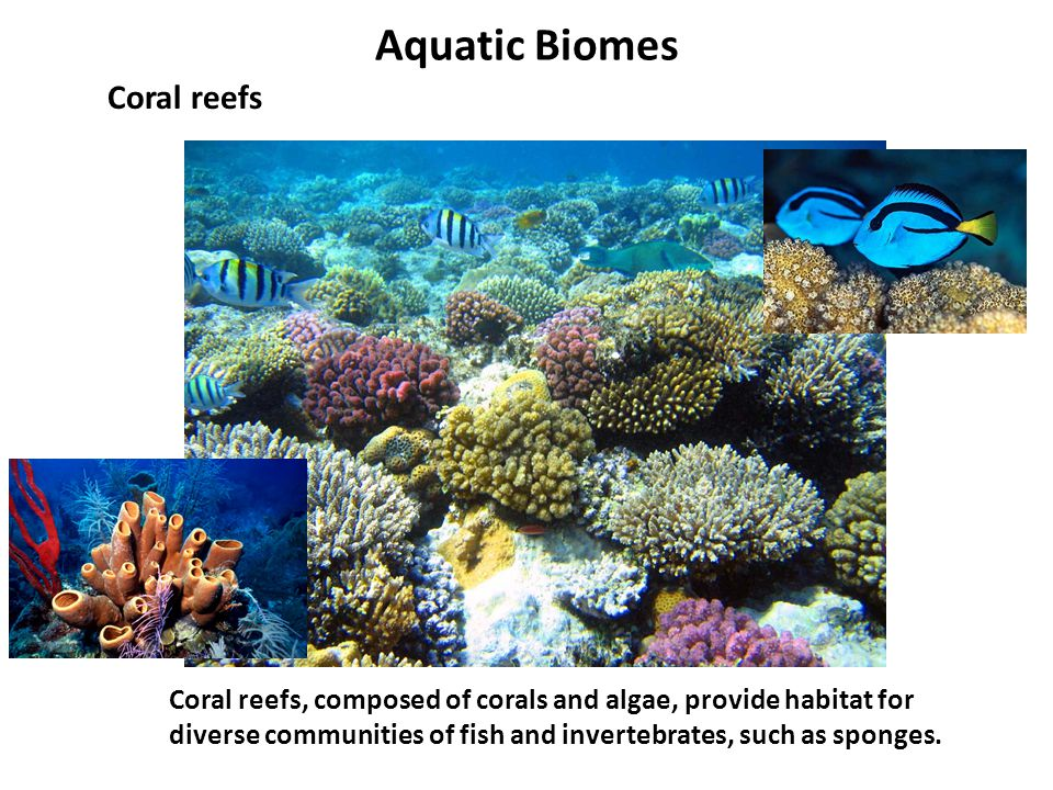 Aquatic Biomes Coral reefs Coral reefs, composed of corals and algae, provide habitat for diverse communities of fish and invertebrates, such as spong