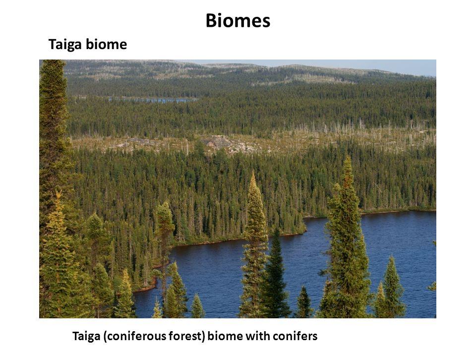 Biomes Taiga biome Taiga (coniferous forest) biome with conifers