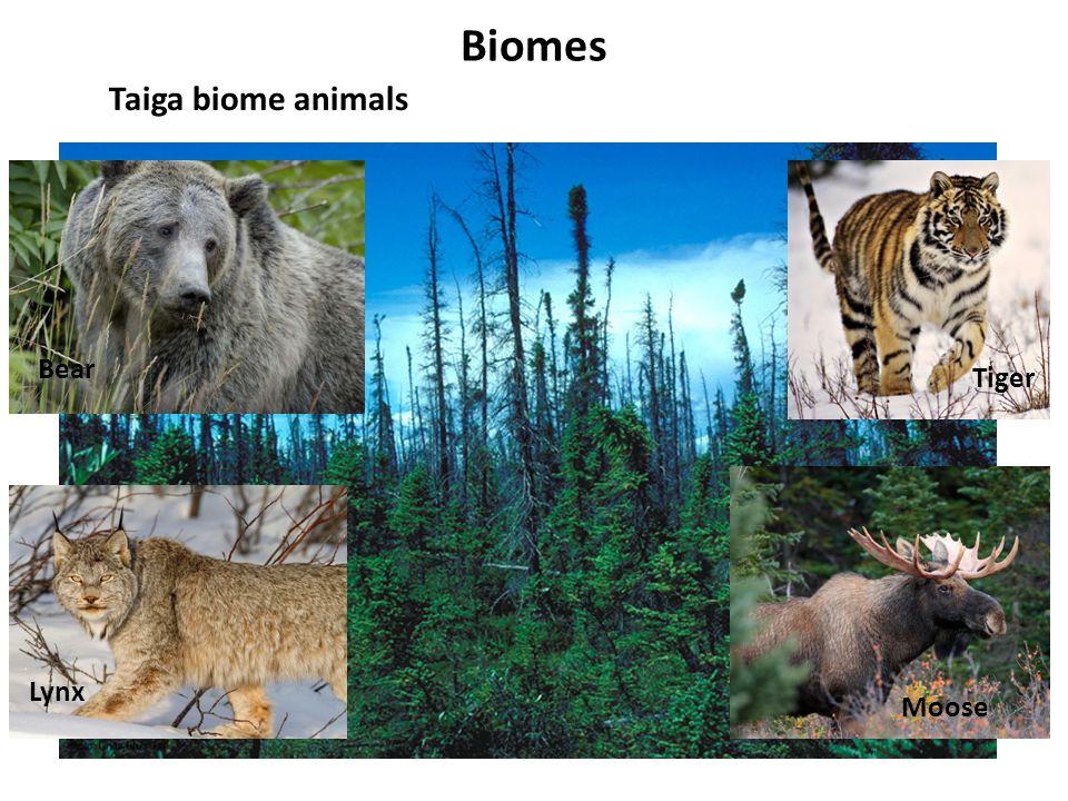 Biomes Taiga biome animals Lynx Bear Tiger Moose