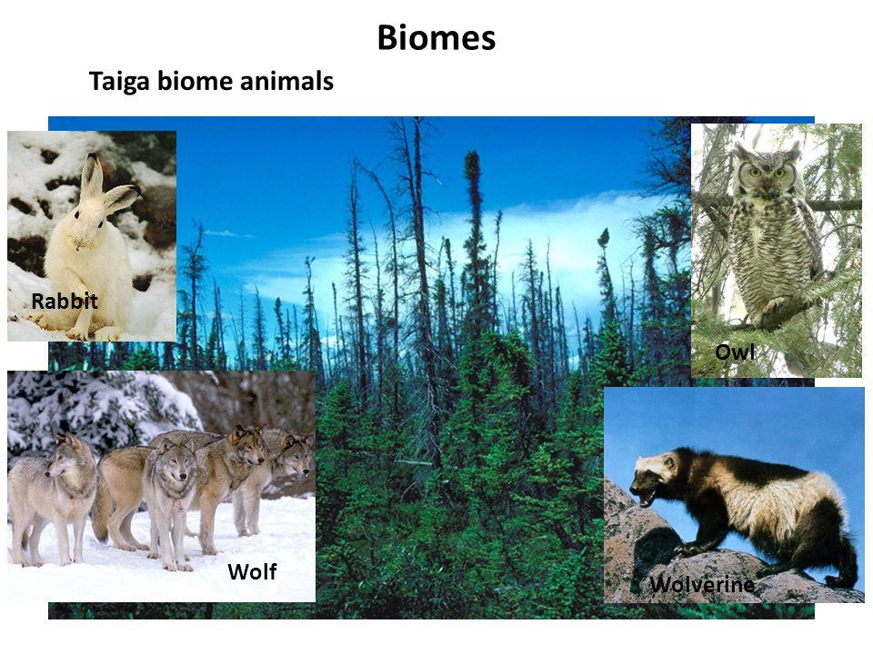 Biomes Taiga biome animals Rabbit Wolf Wolverine Owl