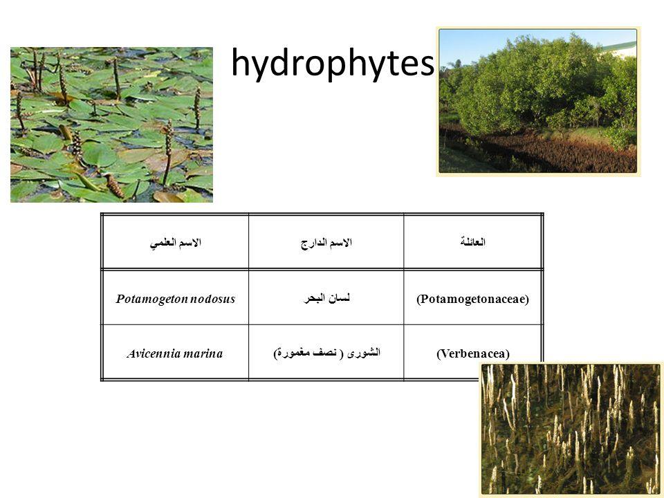 hydrophytes العائلةالاسم الدارجالاسم العلمي (Potamogetonaceae)لسان البحرPotamogeton nodosus (Verbenacea)الشورى ( نصف مغمورة)Avicennia marina