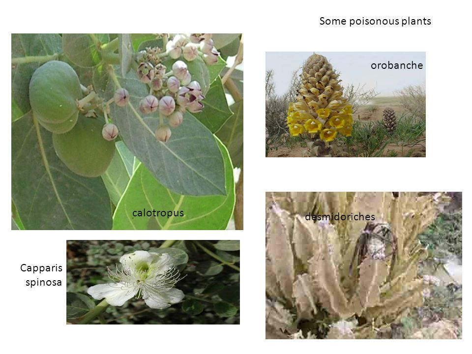 orobanche calotropus desmidoriches Some poisonous plants Capparis spinosa