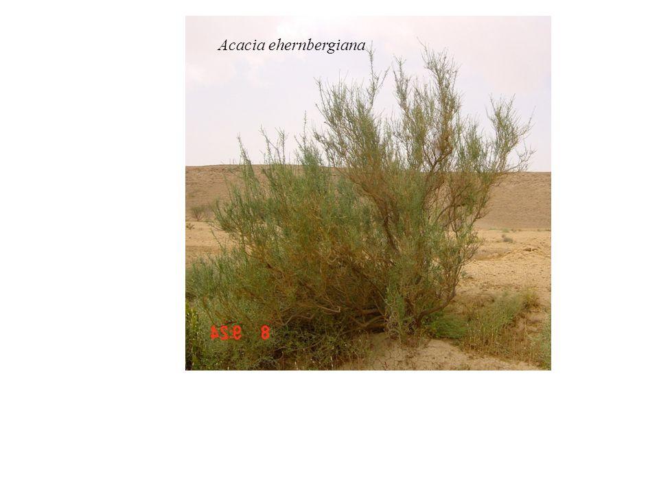 Acacia ehernbergiana