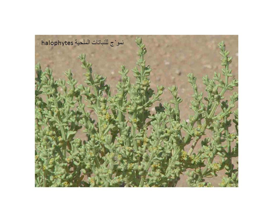 نمو ` ج للنباتات الملحية halophytes