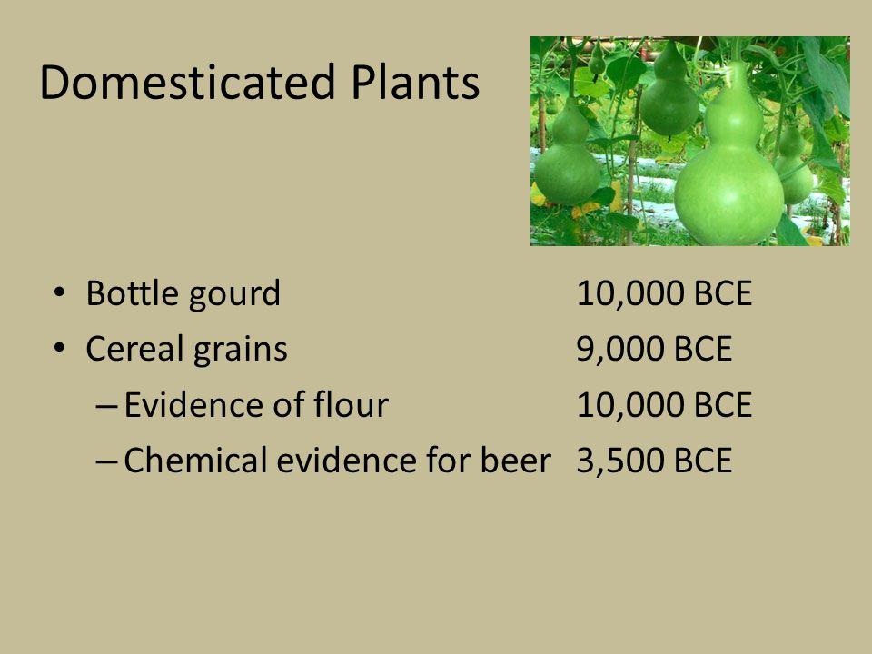 Domesticated Plants Bottle gourd10,000 BCE Cereal grains 9,000 BCE – Evidence of flour10,000 BCE – Chemical evidence for beer3,500 BCE