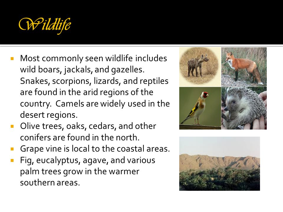  Most commonly seen wildlife includes wild boars, jackals, and gazelles.