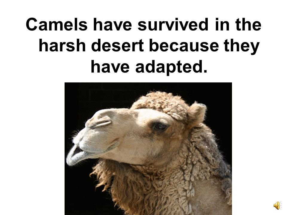 The camel has wide padded toes that keep his feet from sinking in the sand.