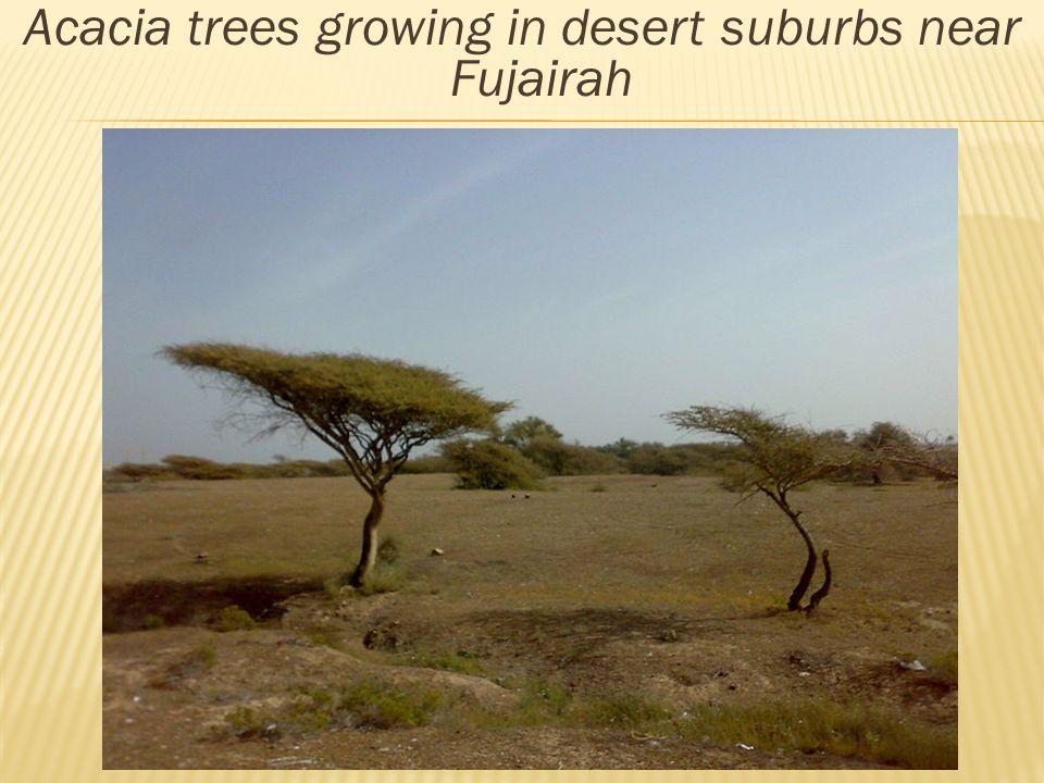 Acacia trees growing in desert suburbs near Fujairah