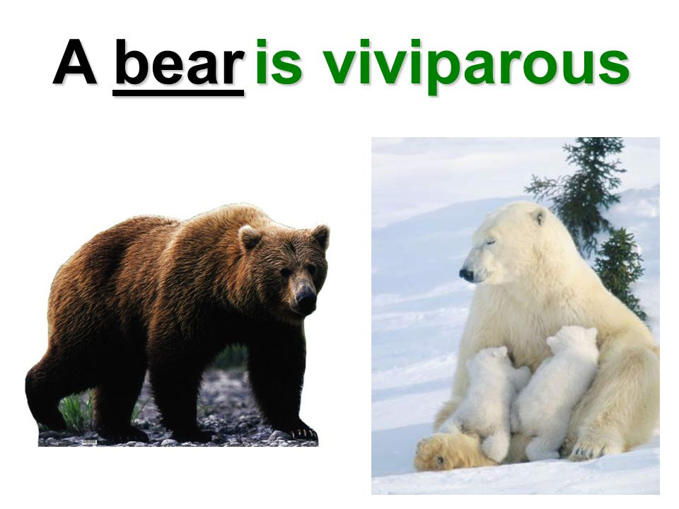 A bear is viviparous