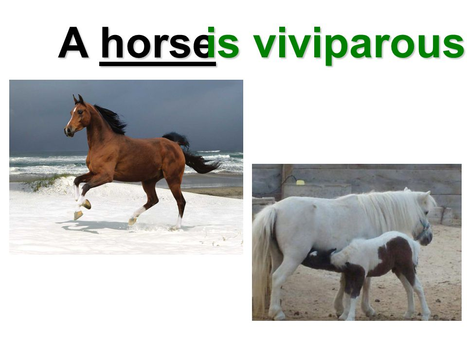 A horse is viviparous