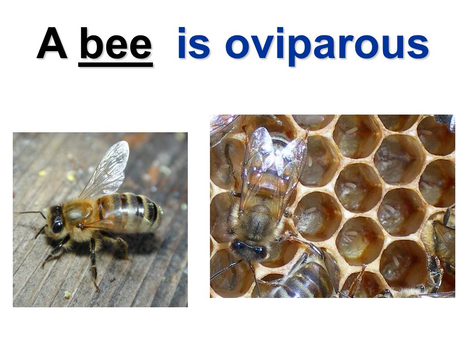 A bee is oviparous