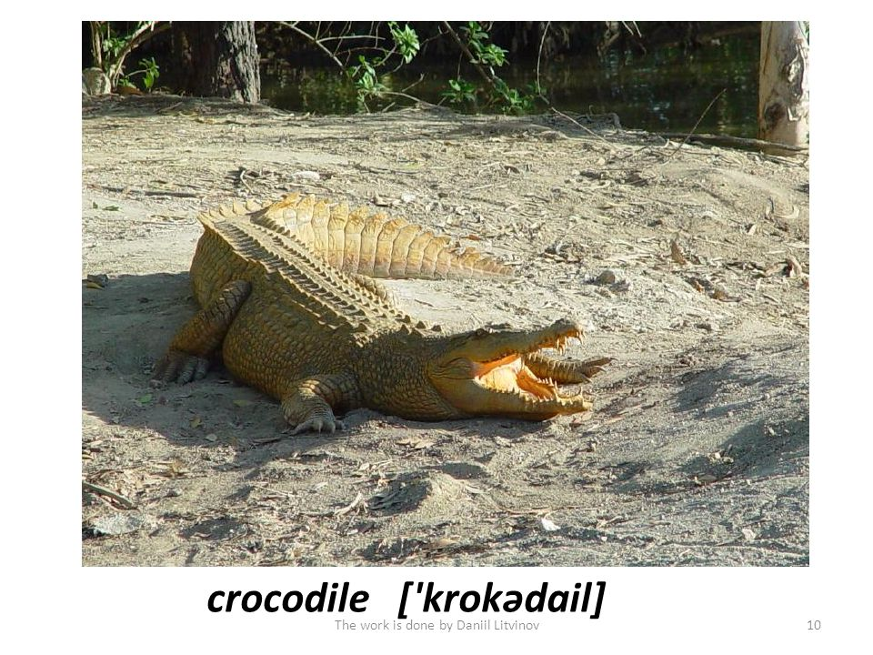 crocodile[ krоkədail] The work is done by Daniil Litvinov10