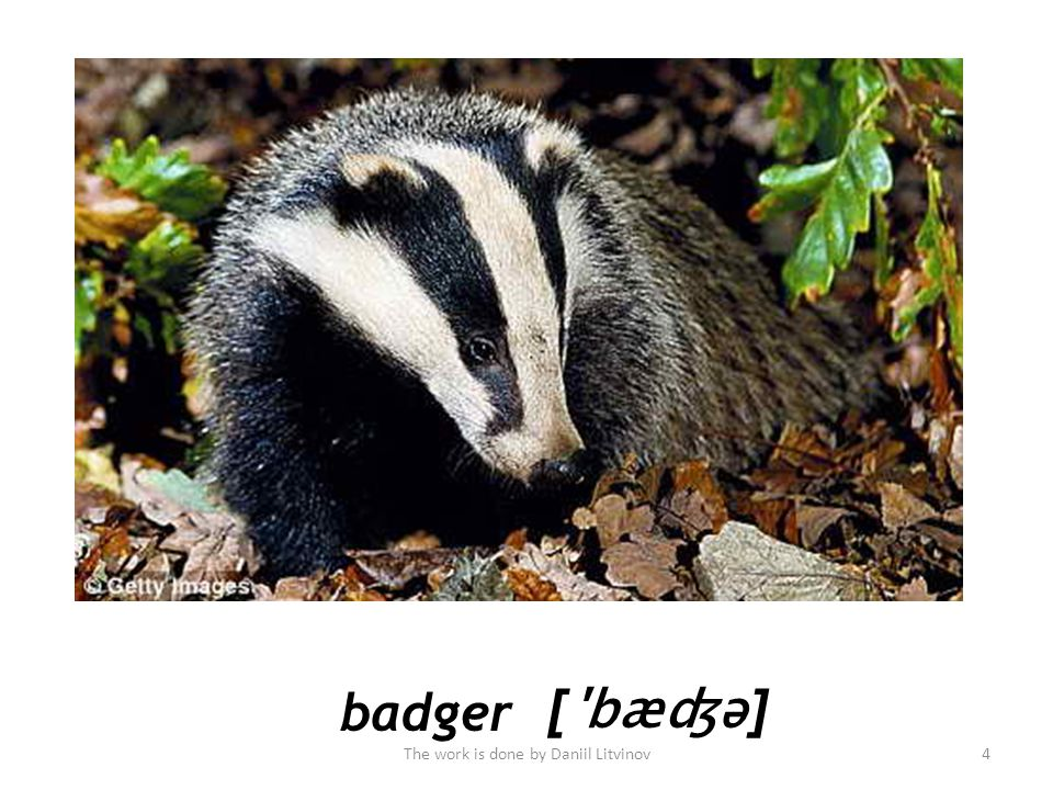badger [ bæʤə ] The work is done by Daniil Litvinov4