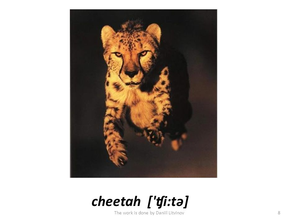 cheetah[ ʧi:tə] The work is done by Daniil Litvinov8