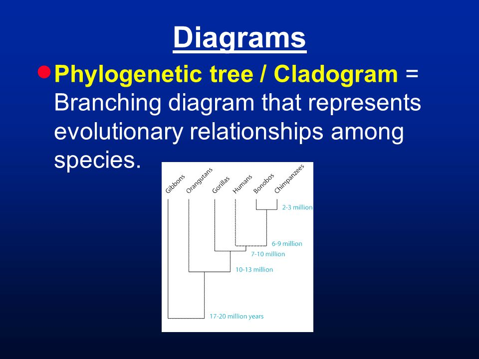 Diagrams  Phylogenetic tree / Cladogram = Branching diagram that represents evolutionary relationships among species.