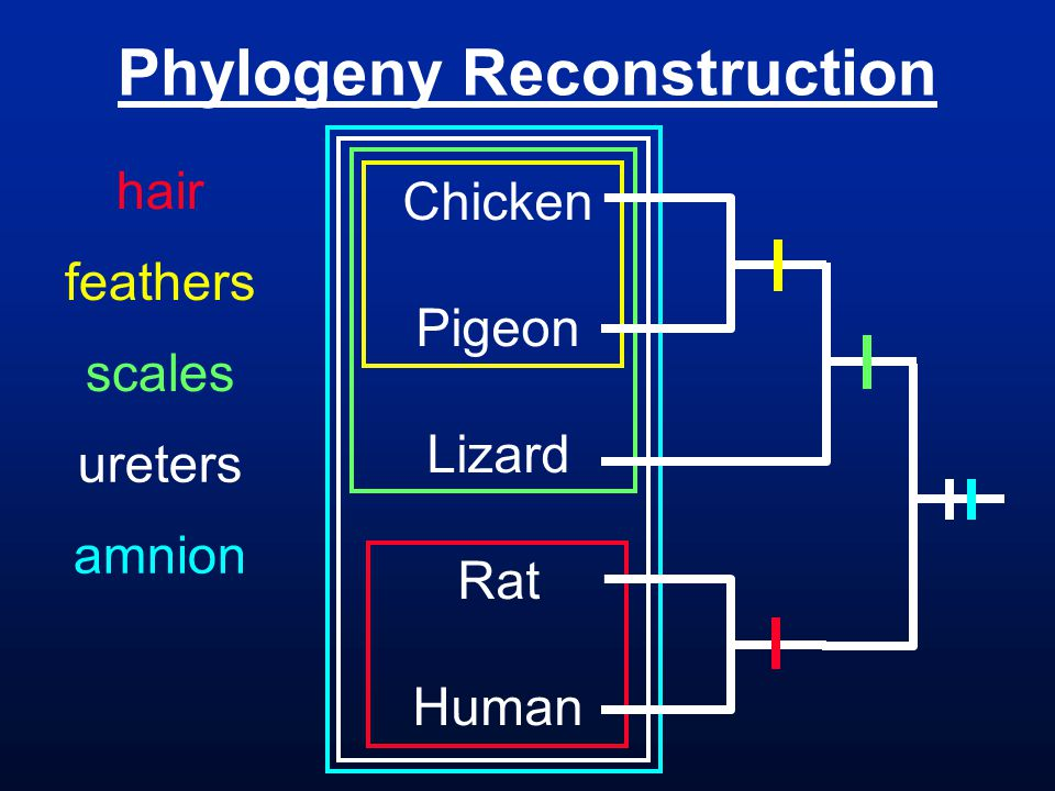 Phylogeny Reconstruction Chicken Pigeon Lizard Rat Human hair feathers scales ureters amnion