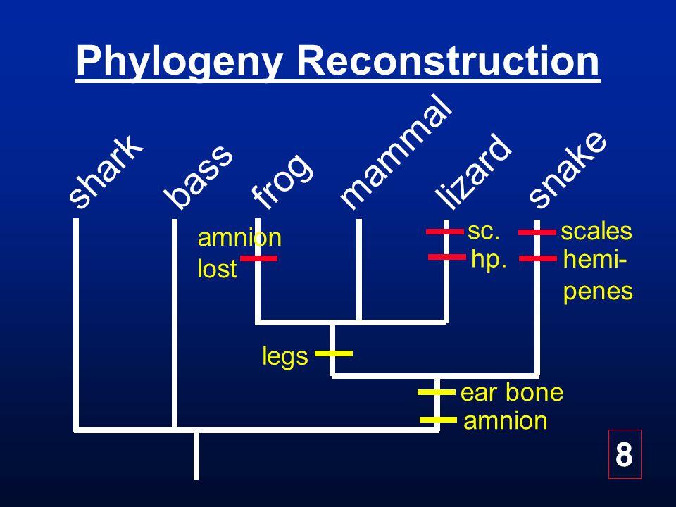 Phylogeny Reconstruction bass frog snake mammal lizard shark ear bone amnion legs amnion lost scales hemi- penes sc.