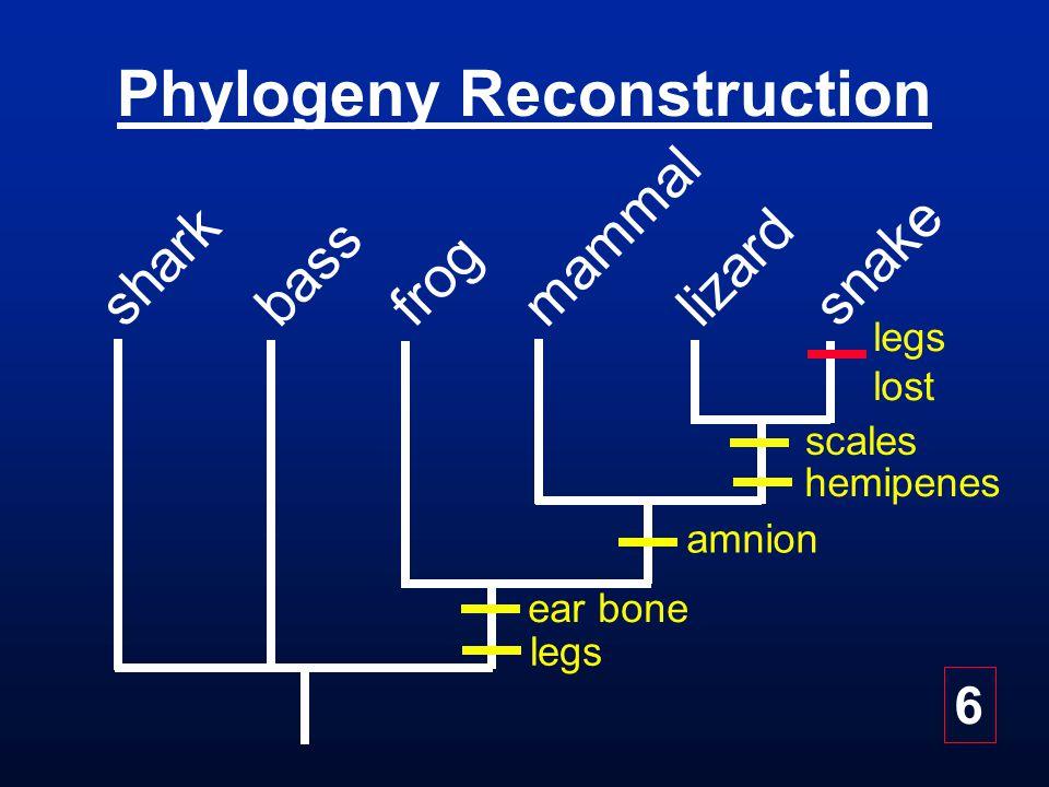 Phylogeny Reconstruction bass frog snake mammal lizard shark ear bone amnion scales hemipenes legs lost 6