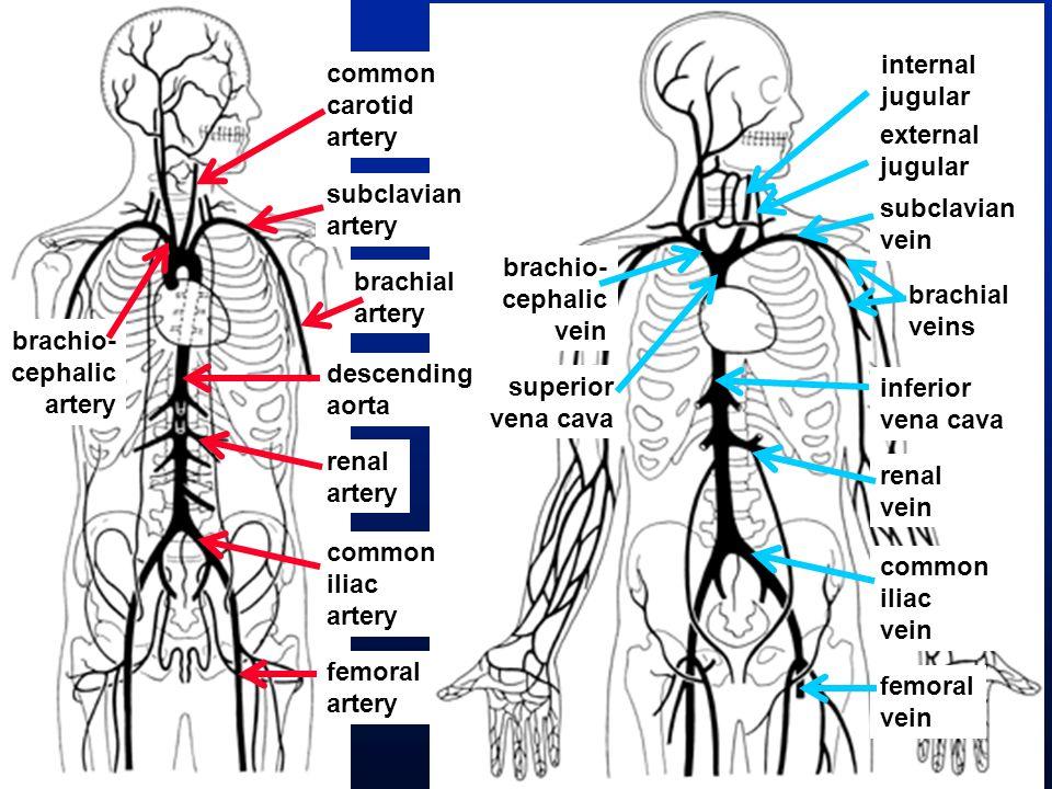 external jugular subclavian vein brachial veins inferior vena cava renal vein common iliac vein femoral vein brachio- cephalic vein internal jugular superior vena cava common carotid artery subclavian artery brachial artery descending aorta brachio- cephalic artery renal artery common iliac artery femoral artery