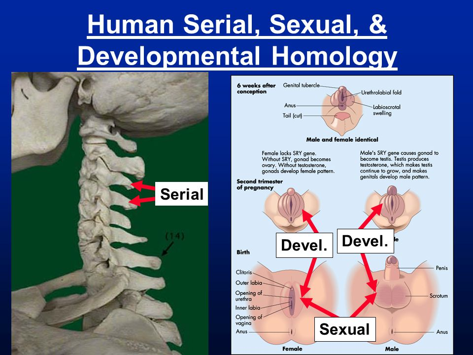 Human Serial, Sexual, & Developmental Homology Serial Sexual Devel.