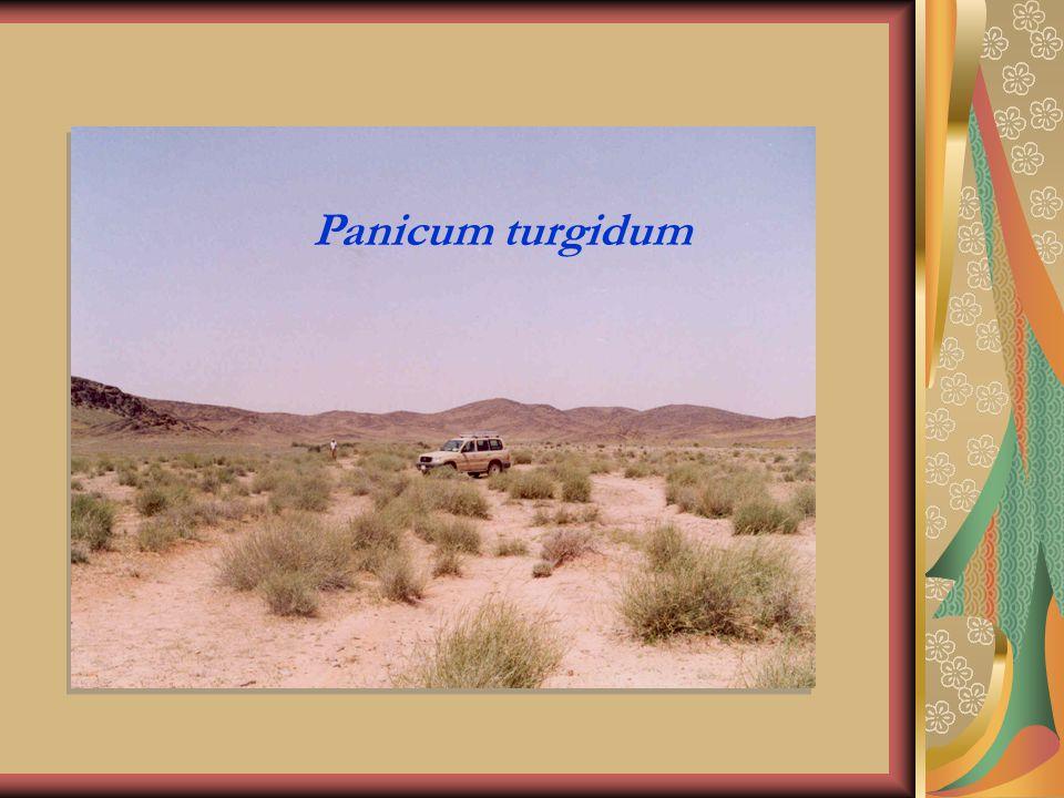 Panicum turgidum