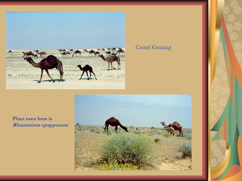 Camel Grazing Plant seen here is Rhanterium epapposum